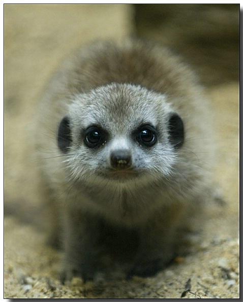 Baby Meerkat - ID: 2668507 © Thomas  A. Statas