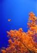 Fall Maple In Alg...