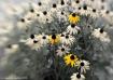 Yellow Flowers Ca...