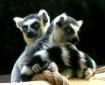 Ring Tailed Lemur...