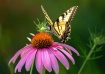 Coneflower and Sw...