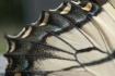 Swallowtail Wing