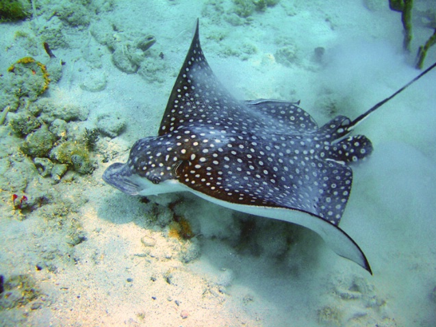 Spotted Eagle Ray F-293 - ID: 2696460 © Kristin A. Wall