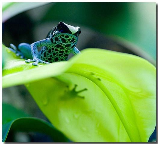 Poison Dart Frog - ID: 2705204 © Thomas  A. Statas