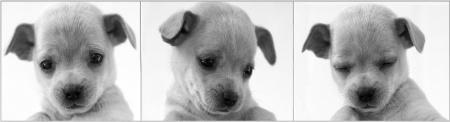 Puppy Trio
