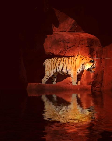 Tiger*