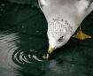 Fresh Water Gull