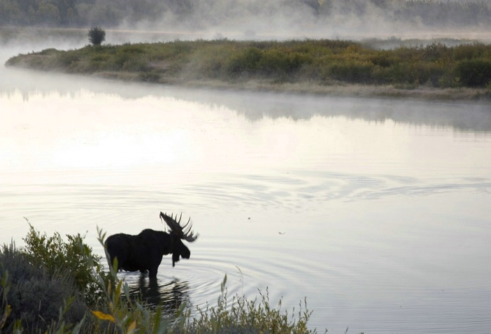 Moose at the Water