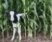 Calf in the corn