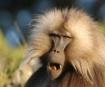 Gelada Baboon Sim...