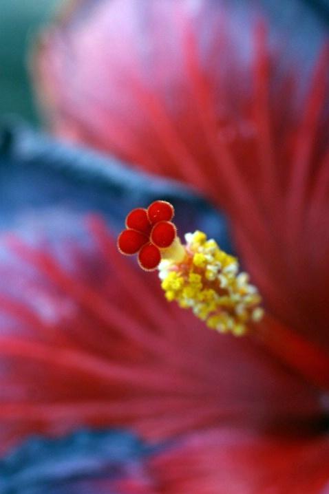 Muted Hibiscus - ID: 2765714 © Tamra Walker