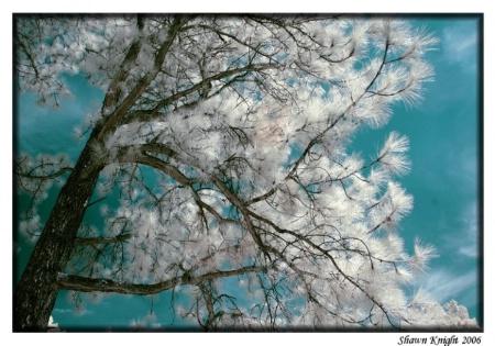 Pine Tree in IR