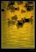 Mirrored Ducks