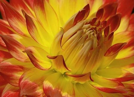 Dahlia in Red and Gold