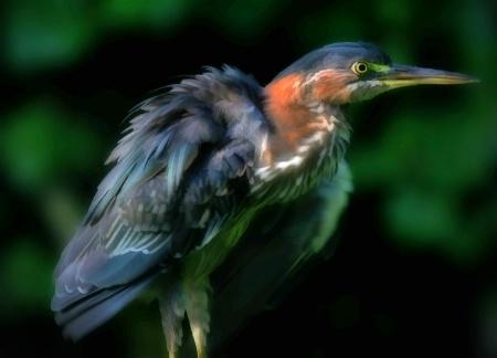 Fluffing Green Heron