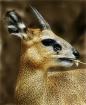 Portrait of a dee...