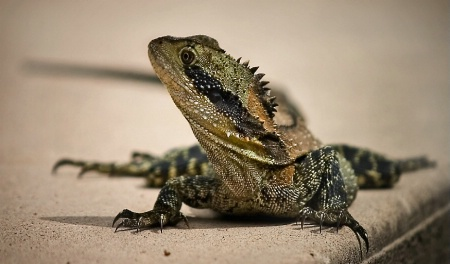 Fred the water dragon