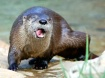 Funny Face Otter