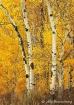 Wasatch Autumn