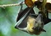 Fruit Bat Snack