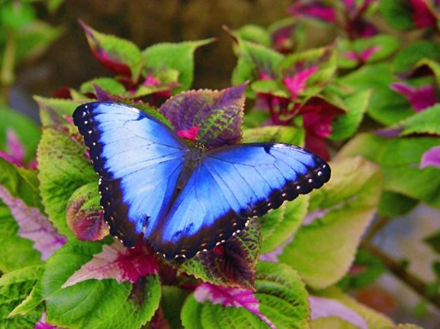 Blue blue butterfly - ID: 2825668 © Kay McDaniel