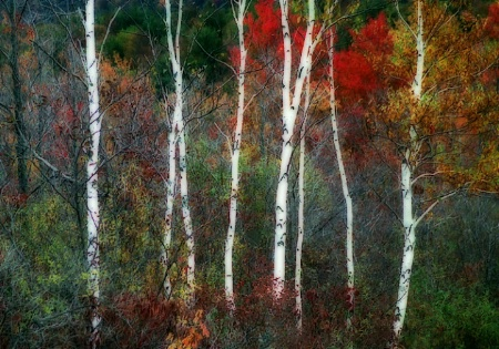 Birch Trunks and Autumn Leaves