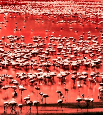 Red Flamingoes