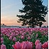 2Tulip Dawn - ID: 2841607 © Teryl L. Monson