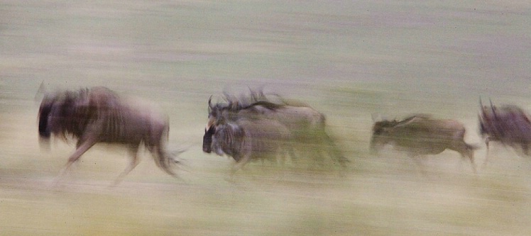 Wildebeest Migration - Masai Mara - ID: 2852547 © Paul Knupp