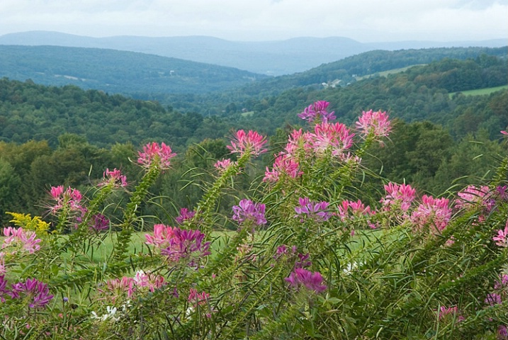 Cleome Flowers