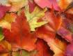 An Autumn Maple L...