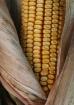 corn husk