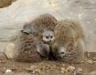 """Meerkat """"Blanket"""""""
