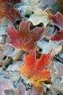 Frosted Maple Lea...