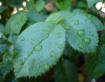 Leaves of a roseb...