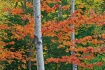 Aspen and Maples ...