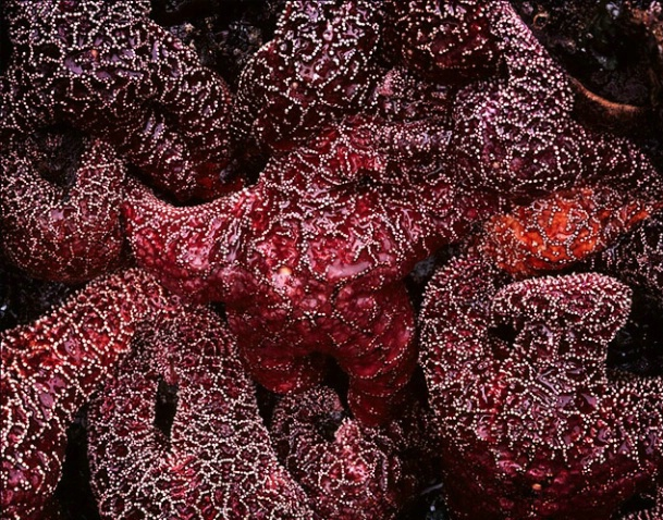 cluster of starfish - ID: 2916376 © Brian d. Reed