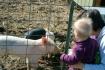 Pet Farm Pigs