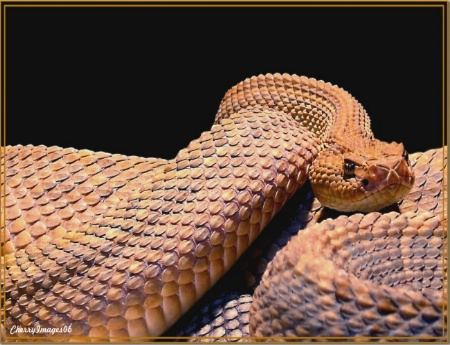 Portrait of a Rattle Snake