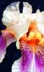 Iris Elegance #2