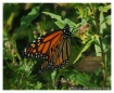 Monarch Warming o...
