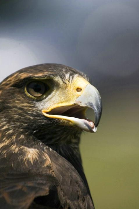Harris Hawk - ID: 2945890 © Tedd Cadd