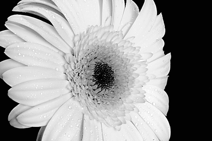 Black & White Gerbera