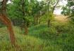 Prairie Ash
