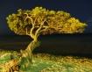 Aruban Divi tree