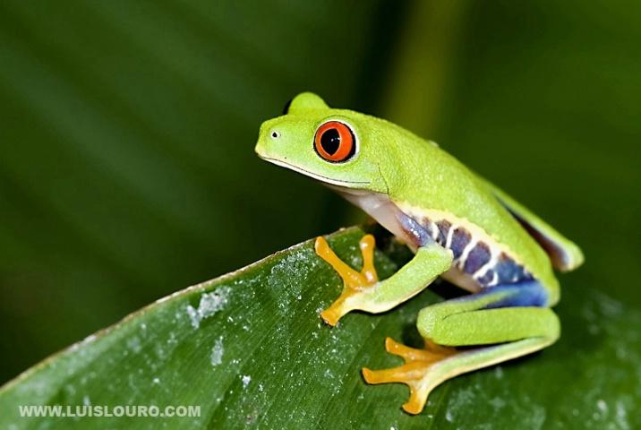 Red-Eye-Tree-Frog