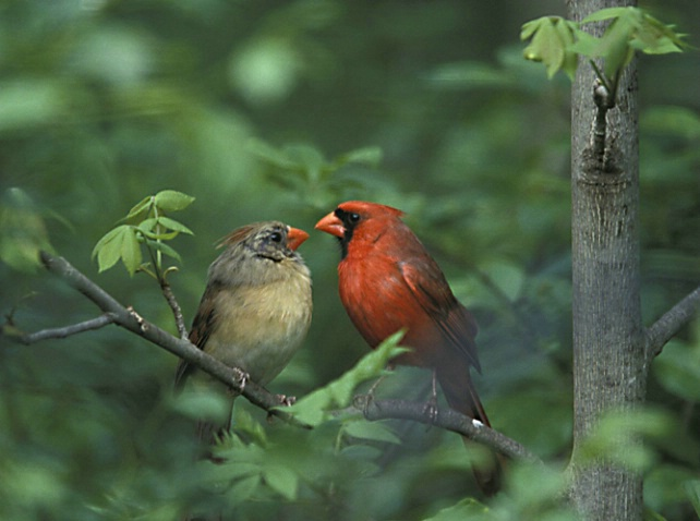 Cardinal Couple on a Branch - ID: 3062129 © Denise Dupras