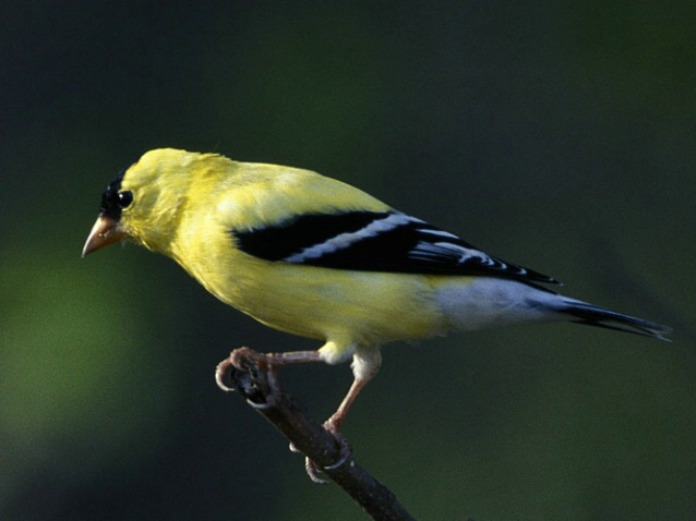 Goldfinch on a Branch - ID: 3062183 © Denise Dupras