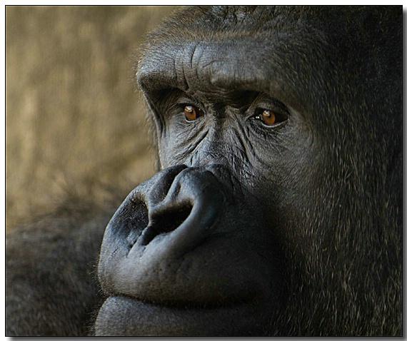 Mountain Gorilla - ID: 3070426 © Thomas  A. Statas