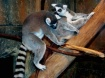 Lemur Friends